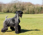 Picture of a Kerry Blue Terrier