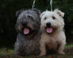Picture of two Irish Glen of Imaal Terriers