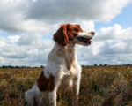 Picture of an Irish Red and White Setter