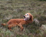 Picture of an Irish Red Setter