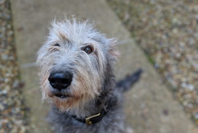 Photo of an Irish Wolfhound
