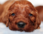 Irish Red Setter Puppy