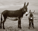 Black and white photo of two donkeys