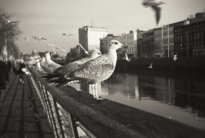 Seagulls at Bachelors Walk in Dublin